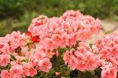 Pink flowers, geranium flower — Stock Photo
