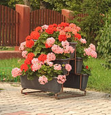 Pink Geranium in flower pot — Stock Photo