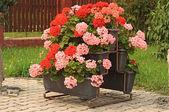 Nice geranium — Stock Photo