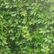 Green leaves wall background — Stock Photo #31126835