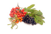 Buck thorn, ashberry and chokeberry with leaves on a white backg — 图库照片