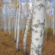 Stock Photo: A autumn birch grove among orange grass