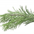 Fir tree branch isolated on white  — ストック写真