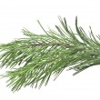 Fir tree branch isolated on white  — Stock fotografie