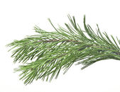 Fir tree branch isolated on white — Stockfoto