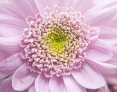 Closeup of pink flower  — Stock Photo