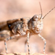 Grasshopper portrait - Stock Photo