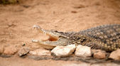 Portrait of crocodile — Stock Photo