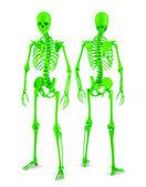 Human skeleton — Photo