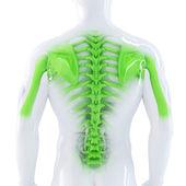 Male Backbone — Stock Photo