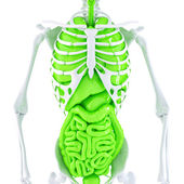 3d illustration of human skeleton and internal organs. — Stock Photo