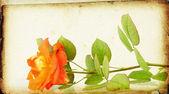 Rose on vintage background — Stock Photo