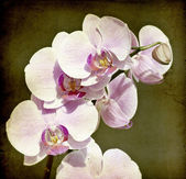 Pink orchid on vintage background — Stock Photo