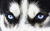 Malamute eyes — Stock Photo