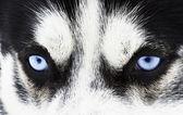 Malamute ogen — Stockfoto
