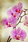 Vintage orchid — Stock Photo