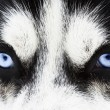 Stock Photo: Malamute eyes