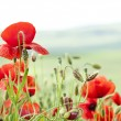 Stock Photo: Poppy field with bush and blue sky