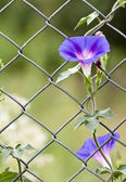 Morning glory growing up a fence. — Stock Photo