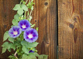 Morning glory on wooden background — Stock Photo