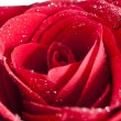 Close up on red rose with water drops  — Stock Photo