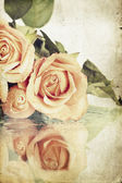Rosa Rosen mit Tau bedeckt — Stockfoto