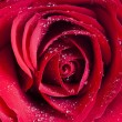 Red rose with water drops — Stok fotoğraf