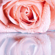 Beautiful pink rose with water drops — Stock Photo