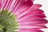 Gerbera daisy flower with water drops — Stock Photo