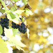 Blue grapes on vine — Stock Photo
