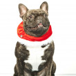 French bulldog dressed up for Santa Claus — Stock Photo