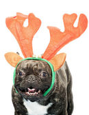 French bulldog dressed up for Christmas — Stock Photo