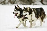 Perros de nieve — Foto de Stock