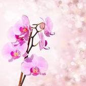 Pink orchid on blured background — Stock Photo