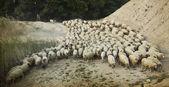 Shepherd with its flock, old photo — Stock Photo