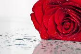 Rudá růže na bílém pozadí — Stock fotografie