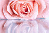 Close up on a pink rose — Foto Stock