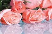 розовых роз, изолированные на белом фоне — Стоковое фото