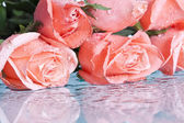 Pink roses isolated on white background — Stok fotoğraf