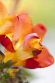 Colorful freesia flowers — Stock Photo