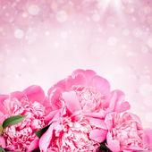 Pink roses — Foto Stock