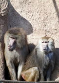 Friendly baboon — 图库照片