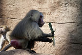 Friendly baboon — Zdjęcie stockowe