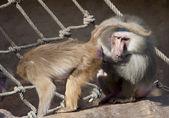 Friendly baboon — Foto Stock