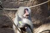 Friendly baboon — Stock Photo