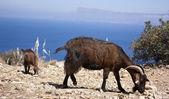 Goats on the rocks — Stock Photo