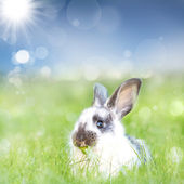 Black and white bunny — Stock Photo