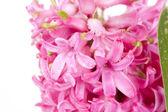 розовый гиацинт — Стоковое фото