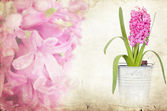 Vintage pink hyacinth — Stock Photo