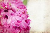 Vintage pink hyacinth — Stock Photo